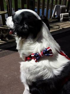 Andi with a double bow, red and white stripe medium and a extra small blue with stars, on a regular harness. $8.00