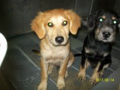 Both pups are out of the shelter; the rescue is a 501c3 but does NOT need pledges, so please move pledges to another dog in need!    IN RESCUE PROCESS - pledge payment info coming soon!    KENNEL 21 GOLDEN (F), TERRIER (M) AVAILABLE 8/19/13 @4:30. ABOUT 3-4 MONTHS OLD. Columbus County Animal Shelter 288 Legion Dr Whiteville, NC 28472 Their hours are Mon-Thurs 10:30-5 and Fri 12-5. For more info go to Urgent Dogs of Columbus, County, Ohio on Facebook.com