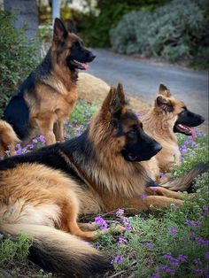 Cute Dogs And Puppies, Baby Dogs, I Love Dogs, Doggies, Wild Animals Photos, Animals And Pets, Cute Animals, German Shepherd Breeds, German Shepherd Puppies