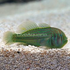 Green Clown Goby.  Peaceful, reef safe.  All clown gobies are great for nano reefs.