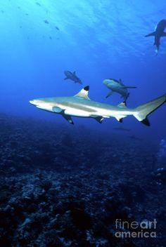 Blacktip Shark, Moorea, French Photograph