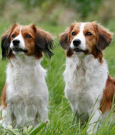Kooiker Dog  The Kooikerhondje is a spaniel with Dutch origins. Hence the name...