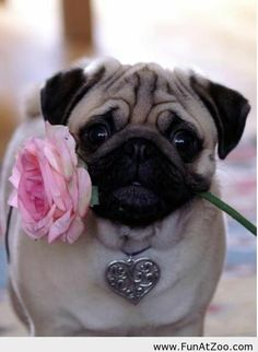 Funny Romantic pug - Funny Picture on imgfave