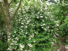Escallonia 'Apple Blossom'. Full sun to partial shade. Prune in September as it finishes flowering. Flowering time June to September.