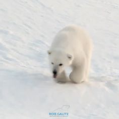 All Animals Pictures, Amazing Animal Pictures, Bear Pictures, Funny Animal Pictures, Polar Bear Cubs, Polar Bear Funny, Save The Polar Bears, Polar Bear Video, Cute Baby Animals