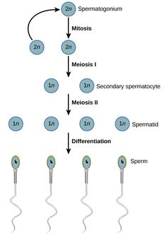 Difference between spermatogenesis and oogenesis reproductive gametogenesis spermatogenesis and oogenesis ccuart Choice Image