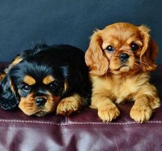 Ruby & Black & Tan Cavalier King Charles Spaniel Puppies by DeeDeeBean Cavalier King Charles Spaniel, King Charles Puppy, Cute Puppies, Cute Dogs, Baby Animals, Cute Animals, Cockerspaniel, Spaniel Puppies, I Love Dogs