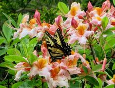 Tiger swallowtail on native azalea...