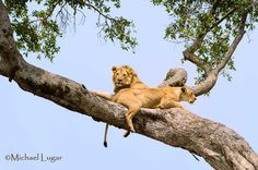 Tree climbing Lions are famous in Lake Manyara (Tz) and Lake Nakuru (Ke). However this fantastic photo has been taken in February 2014 in Maasai Mara. Thank you Michael Lugar for sharing!