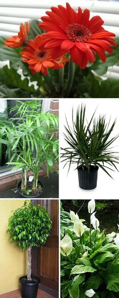 Here is the list of the top 10 air detoxifying plants you can grow indoors. These plants can help reduce all sorts of serious air pollutants, even benzene, formaldehyde and trichloroethylene, as well as microbial pathogens. #Detox