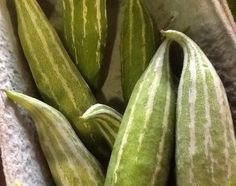 Young snake gourds