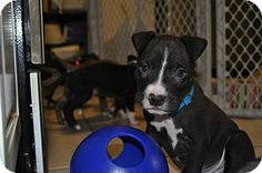 Ridgewood, NY - American Pit Bull Terrier Mix. Meet Lucas a Puppy for Adoption.