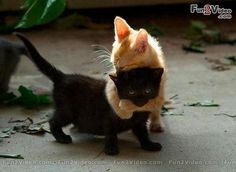 Cool Cats Cute Picture   [ More Cute Pictures: http://www.fun2video.com/ ]