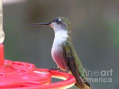 Canvas Print  $47  Framed Print  $68  Art Print  $22  Acrylic Print  $44  Metal Print  $37  Greeting Card  $4.95  Throw Pillow  $28  Title  #872 D493 Lending An Ear Hummingbird  Artist  Robin Lee Mccarthy Photography  Medium  Photograph - Photography  Description  #872 D493 Lending An Ear Hummingbird  Thank you so much for looking at my image!!! I also offer handmade original greeting cards, prints, and many items for retailing your artwork and products. I offer greeting card racks, print displays, calendar stands, note card racks, prong racks, clear bags, boxes, clothing displays and many other type floor displays and so much more. Please check out my stores: http://stores.ebay.com/Robin-Lee-McCarthy-Photography http://www.RobinLeeMcCarthy.com