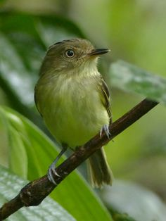 4188. Double-banded Pygmy Tyrant (Lophotriccus vitiosus) | Brazil, Colombia, Ecuador, French Guiana, Guyana, Peru, Suriname