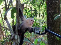 50 things to do in Costa Rica - white face baby monkey trying to get our GoPro. There are tons of these guys at Manuel Antonio National Park