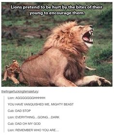 Lions pretend to be hurt by the bites of their young to encourage them... haha a lion king reference was the result of this.