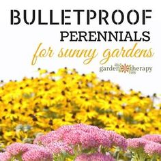 Technically, these perennial could not deflect a bullet. Once they are established, however, they can deal with some pretty harsh conditions like sweltering-hot sun, terrible soil, poor watering, pests,...