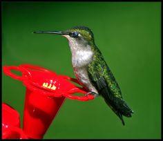 Nectar Ecstasy by Catherine Melvin - Animals Birds ( enjoyment, female hummingbird, closed eyes, nature bird photography, green wings,  )