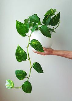 11 Science-Backed Pothos Plant Benefits+It Can Grow Without Sunlight 11 Amazing Science-Backed Potho House Plants Decor, Plant Decor, Ivy Plants, Indoor Plants, Large Plants, Foliage Plants, Potted Plants, Plante Pothos, Pothos Plant Care