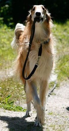 Borzoi looks pretty happy taking himself for a walk
