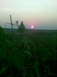 5am in the vineyard with Epica in my headphones and this beautiful sunrise :3