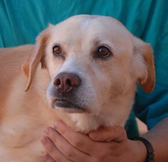 Diana, 11, likes going to dog parks and devoting herself to people who appreciate her.  She is brokenhearted and confused about being homeless because she never did anything wrong.  (Diana was surrendered to a government-funded shelter with a broken tooth and needed our help.)  Diana is housetrained and good with kids and dogs.  She is a Yellow Labrador Retriever mix, spayed, debuting for adoption today at Nevada SPCA (www.nevadaspca.org).
