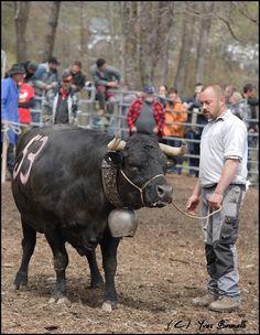 Maintenant que je reste un peu plus tranquille et qu'on arrive au bout des mélanges , je peux commencer à mettre sur mon blog , les derniers matchs de la saison et certains mélanges. A Mollens , il y a eu quelques belles luttes entre les vaches et certains...
