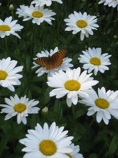 Blooming now! We love summer. Beautiful Flowers Photos, Pretty Flowers, White Flowers, Butterfly Flowers, Flowers Nature, Butterflies, Sunflowers And Daisies, Wildflowers, Daisy Patches