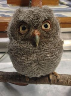 Googly eyed owl wants you to know he's watching you.