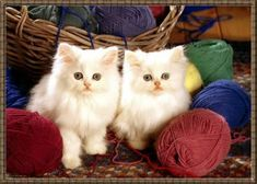 Two white cats. I will knit the one half of my jersey and my sister wll knit the other half. Lets start knitting.