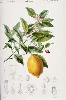Коллекция картинок: Старинные ботанические принты