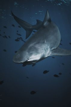 envyavenue:  Bull Shark