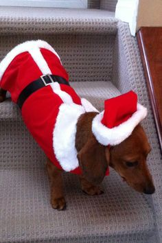 The real Santa Merry Christmas Dog, Christmas Animals, Christmas Dachshund, Dachshund Puppies, Dachshund Love, Daschund, Little Puppies, Little Dogs, Diy Dog Costumes