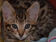 The new Bengal Baby!!!! Maxim Karma, Max for short!