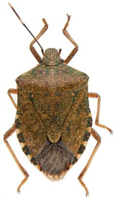 They're Baaaack!  Get Rid of Stink Bugs the Easy Way
