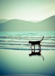 Just me and the waves  how piece full Beautiful Beach, Beautiful Cats, Animals Beautiful, Cute Animals, Cat Photography, Reflection Photography, Going Fishing, Beach Walk, Lake Beach