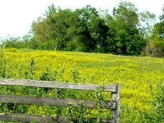 Field of yellow wildflowers.