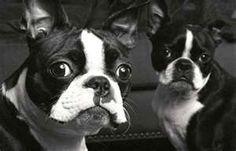 ♥Boston Terriers