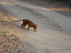 tasmanian tiger still alive - Google Search