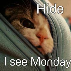 Hide I See Monday Funny Quotes Kitten Monday Weekdays Humor Monday Quotes Source by leahlovesvegas I Love Cats, Cute Cats, Funny Cats, Funny Animals, Cute Animals, Crazy Cat Lady, Crazy Cats, Animal Pictures, Funny Pictures