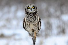 I love owls! Short-eared owl
