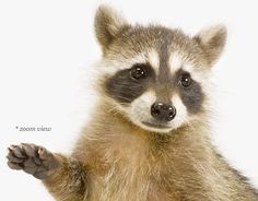 Baby Raccoon No. 2   Sharon Montrose   The Animal Print Shop   Baby Animal Photography Prints