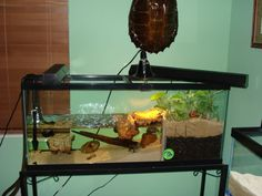 I just purchased a male spotted turtle and currently seeking a used 55 gallon tank on craigslist to house my two spotted - Answered by a verified Reptile Expert Aquatic Turtle Habitat, Aquatic Turtle Tank, Turtle Aquarium, Aquatic Turtles, Aquarium Stand, Turtle Cage, Turtle Pond, Pet Turtle, Wood Turtle