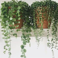 easy to care for plants houseplant * houseplant easy care ; easy to take care of plants houseplant ; easy to care for house plants houseplant ; easy to care for plants houseplant Plantas Indoor, Decoration Plante, Plants Are Friends, String Of Pearls, Garden Care, Plantation, Plant Decor, Indoor Plants, Indoor Cactus