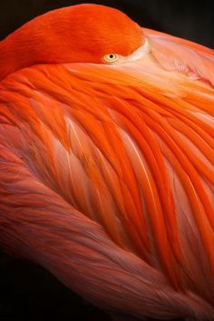 So amazingly beautiful. I have always loved flamingos. Flamingo , photo by Vergil Kanne Pretty Birds, Beautiful Birds, Animals Beautiful, Cute Animals, Pretty Animals, Baby Animals, Orange Bird, Orange Color, Orange Orange