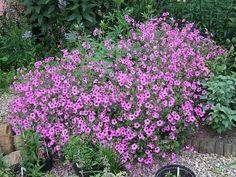 "Geranium ""Patricia"", hybrid of G. psilostemon and G. endressi, long-long-lasting flowering, sun and dry soil."
