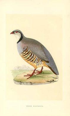 Antique print: picture of Greek Partridge -