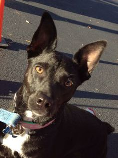 "My name is ""Metoo"" because I like to be included in everything!  I'm about 1 yr old, 23 lb Terrier & Miniature Pinscher Mix.  I'€™m very easy to love, love to cuddle, love to be close & will even jump up into your arms.  I would probably like to try doing obstacle..."