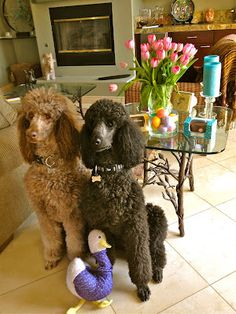 These are my kids! Two standard poodles, Duncan Diggory and Sheldon Gryffindor